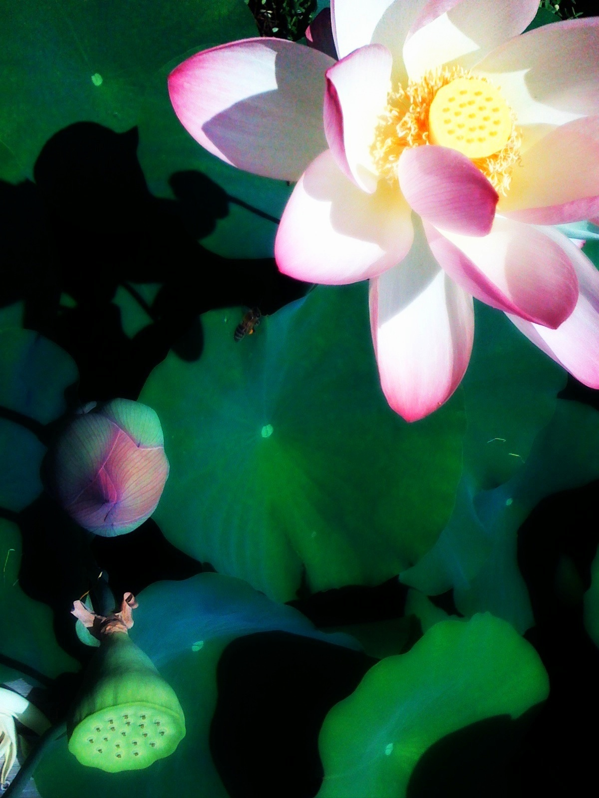 The Bee And The Lotus