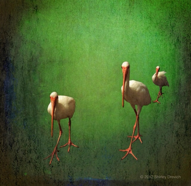{daily pic} Shirley Drevich ~ Ibis