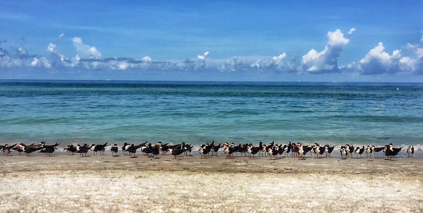 Shirley Drevich ~ Black Skimmers Cooling Off