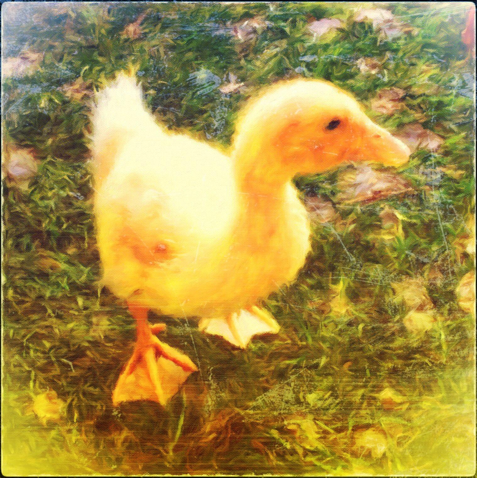 Andrea Koerner ~ Quacked