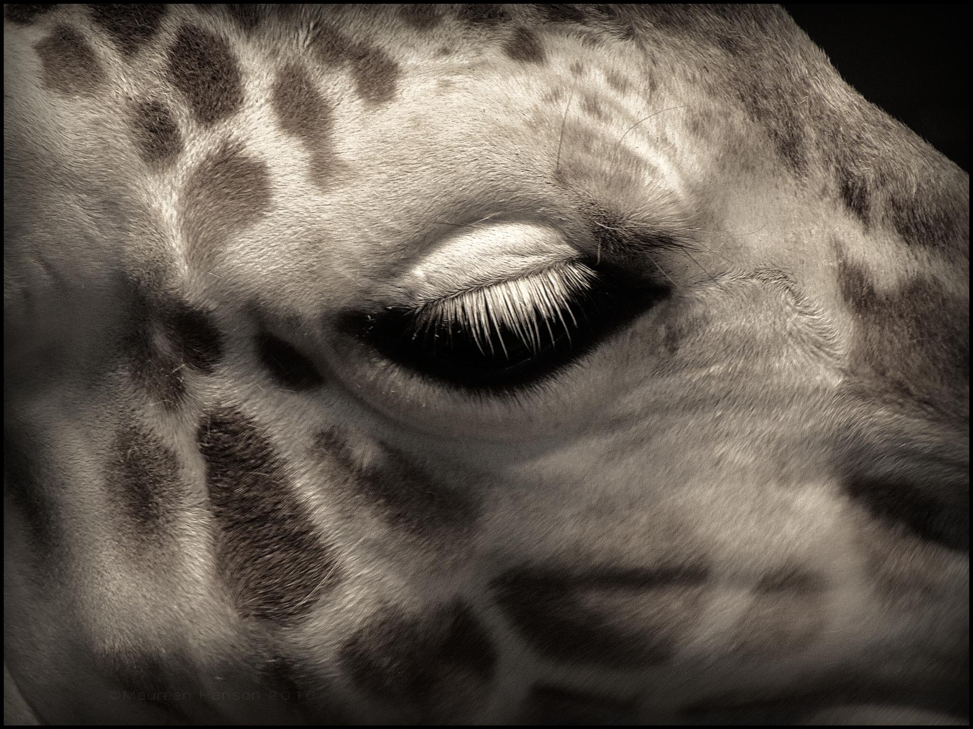 Maureen Hanson ~ Giraffe, Como Zoo #DSLR2iOS