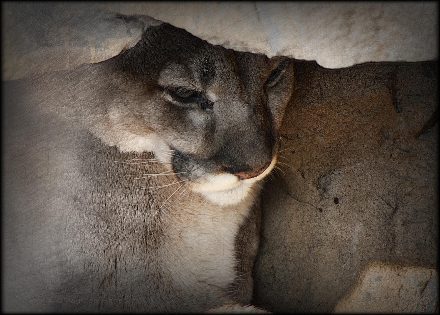 {dslr} Maureen Hanson ~ Mountain Lion, Como Zoo
