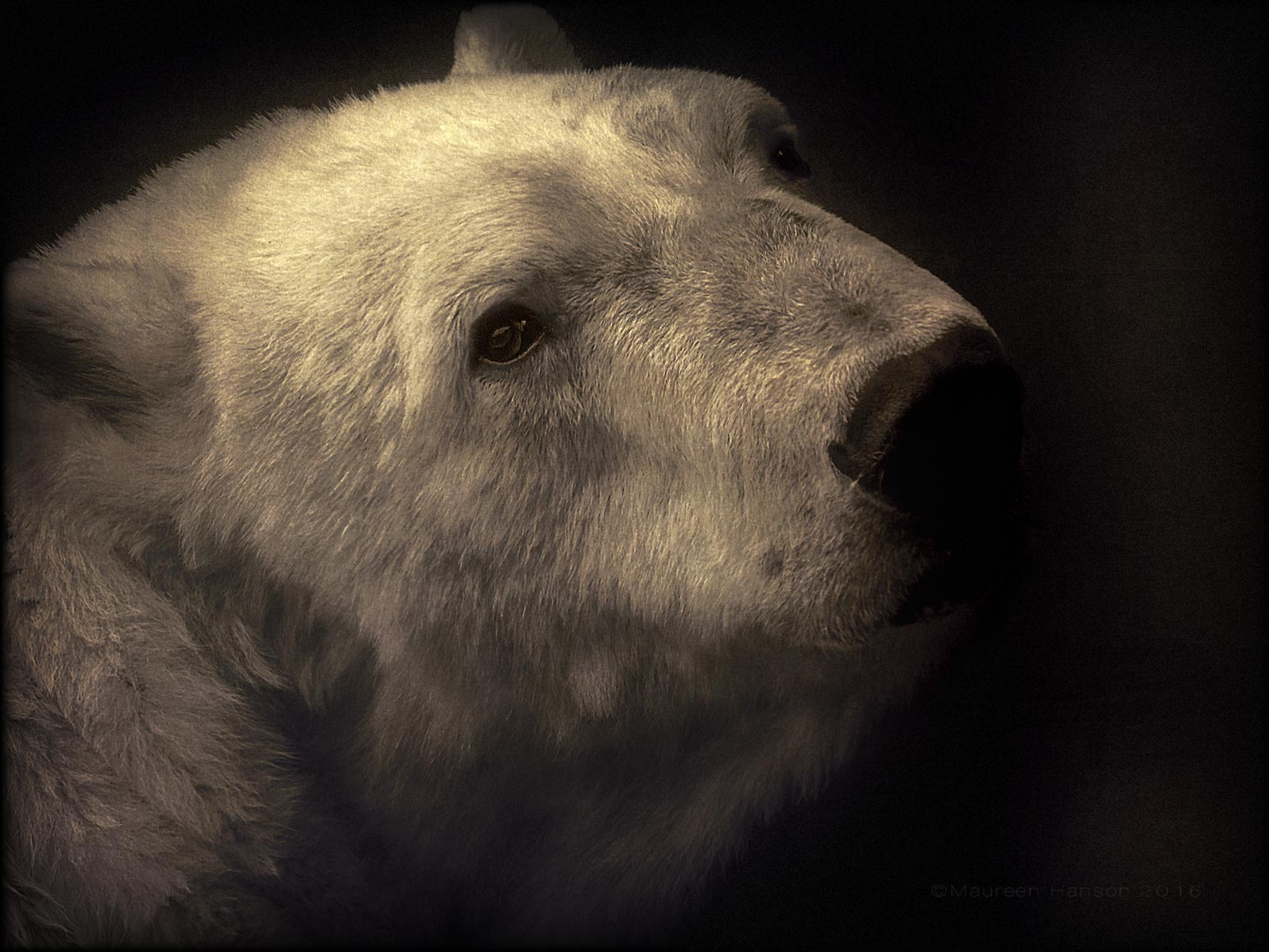 Maureen Hanson ~ Polar Bear #DSLR2iOS