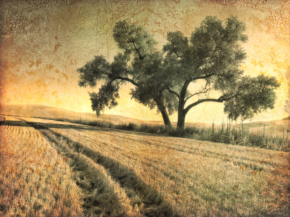 Connie Rosenthal ~ A Tree in a Wheat Field in the Palouse